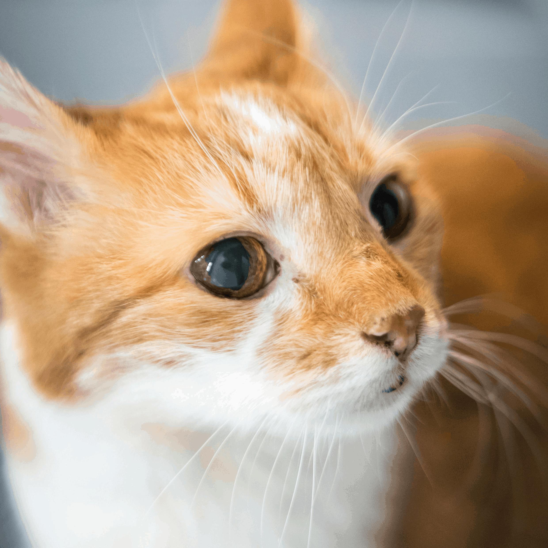 Eine rote Katze blickt in die Kamera.