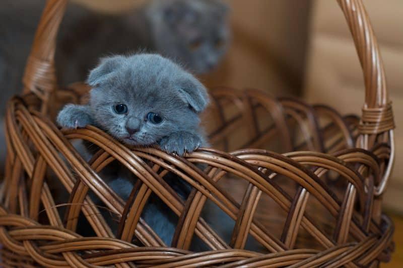 Vorsicht: Scottish Fold-Katzen sind Qualzucht!