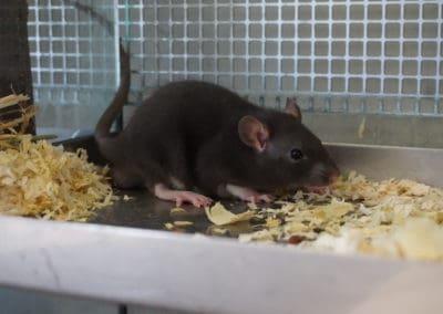 Informationen über die Haltung von Ratten