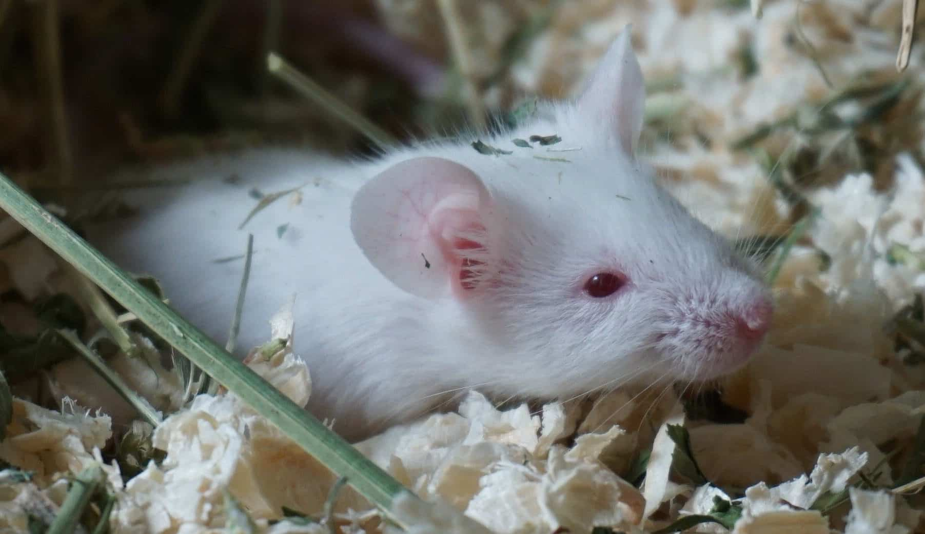 Eine weiße Maus liegt im Heu.