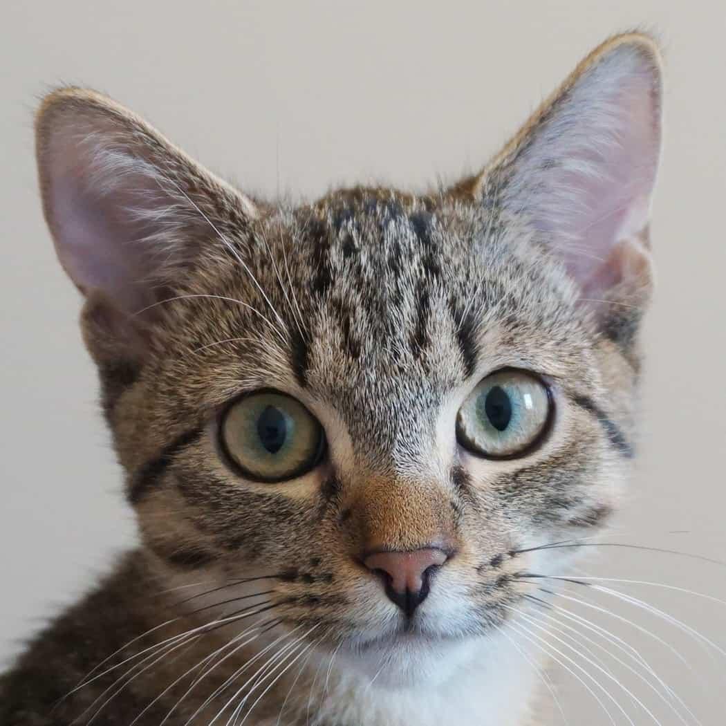 Ein junges Kitten schaut in die Kamera.