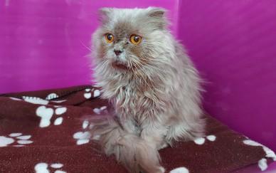 Fünf Qualzuchtkatzen innerhalb weniger Tage ausgesetzt!